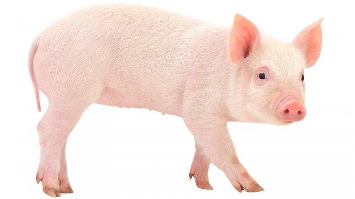 Babi Bagian dari Local Wisdom Masyarakat Batak Pada Umumnya